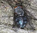 Muscid fly?  - Calliphora