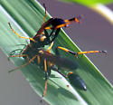 Are these Sceliphron caementarium? view 5 - Sceliphron caementarium - male - female