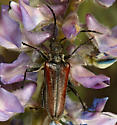 flower longhorn - Stenocorus