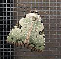 greenish moth - Leuconycta diphteroides