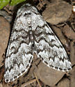 and a beautiful moth right on the trail - Panthea virginarius