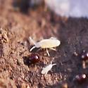 elongate-bodied springtail - Cyphoderus similis