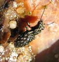 Carabid - Elaphrus olivaceus