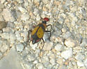 Iron Cross Blister Beetle - Tegrodera latecincta
