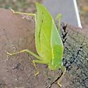 Katydid - Microcentrum retinerve - female
