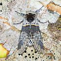 Kitten moth - Furcula furcula - male