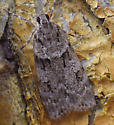 4719 Many-spotted Scoparia - First for New Brunswick - Scoparia basalis