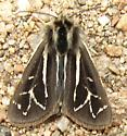 Williams' Tiger Moth - Apantesis williamsii