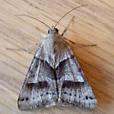 Clover Looper (Caenurgina crassiuscula)  - Caenurgina crassiuscula
