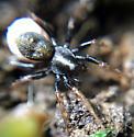 Spider with eggs - Allocosa funerea