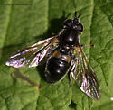 Syrphid - Pipiza