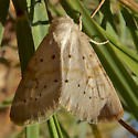 pale yellow moth with brown dots - Oslaria pura