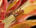 Wolf Spider - Trabeops aurantiacus