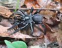 Black Purse Web spider - Ummidia