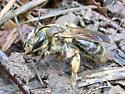 Hymenoptera - Andrena - female