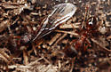 queen with one wing and worker - Myrmica rubra - female