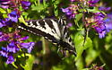 Pale Tiger Swallowtail - Papilio eurymedon - female