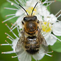 Unknown Bee - Megachile frigida