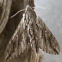 large moth - Paratrea plebeja