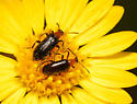 Meloidae - Gnathium francilloni