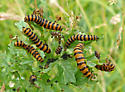 cinnabar moth caterpillars - Tyria jacobaeae