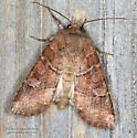 Noctuidae - Crocigrapha normani