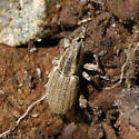 Unknown weevil - Sitona