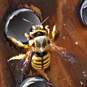 Bees in the bee house - Anthidium illustre