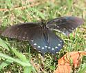 Pipevine Swallowtail - Dorsal - Battus philenor