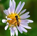 Hover Fly - Toxomerus geminatus (male) - Toxomerus geminatus - male