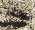 Ant on Baylands Trail by salt pond in Don Edwards Refuge morning of 2021 May 10 - Formica