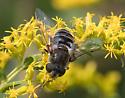 flower fly – Eristalis dimidiata? - Eristalis dimidiata - female
