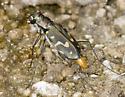 Wetsalts Tiger Beetles from north Alvord Basin - Cicindelidia haemorrhagica