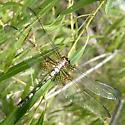 lacy bags - Dythemis fugax