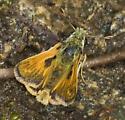 Mountain brook skippers 2 - Hesperia colorado