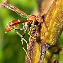 Paper wasp - Mischocyttarus mexicanus