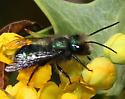 Arizona Mason Bee 1 - Osmia ribifloris