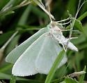 Green moth - Nemoria? - Nemoria bistriaria - male