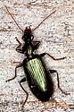 Green Ground Beetle - Calleida viridipennis