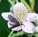 Grapeleaf Skeletonizer(?) on Blackberry Blossom - Harrisina americana