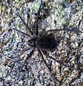 can someone please identify my sister said It is as big as her hand  - Dolomedes vittatus