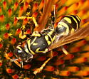 Does not quite match any Yellowjacket I can find - Polistes dominula