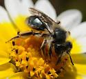 Andrena (Diandrena) malacothricidis - Andrena malacothricidis - female