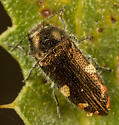 Acmaeodera coquilletti