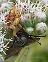 Jagged Ambush Bug with Fly Prey in Boneset - Phymata