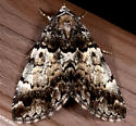 Allotria - Allotria elonympha