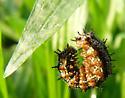 caterpillar in meadow - Junonia coenia