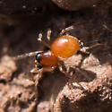 dwarf spider - male