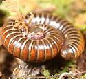 Coiled millipede - Choctella cumminsi