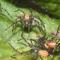 Green Lynx Spider (Peucetia viridans) Spiderlings 3rd instar - Peucetia viridans